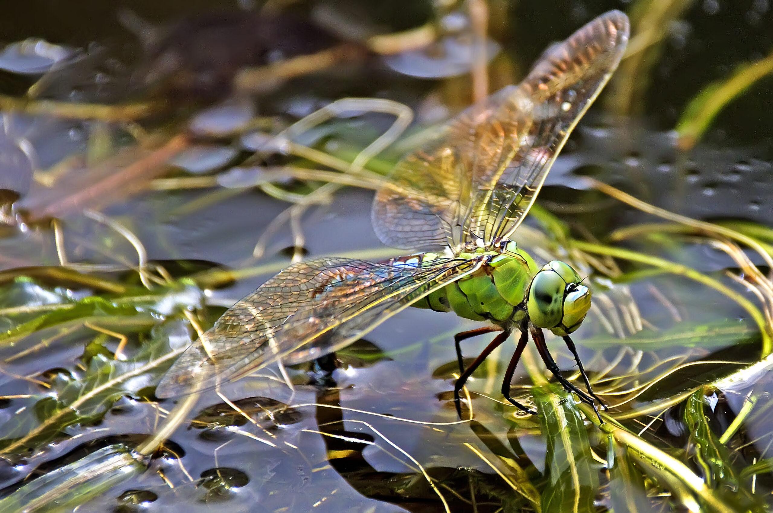 Libelle auf einer Wasserpflanze