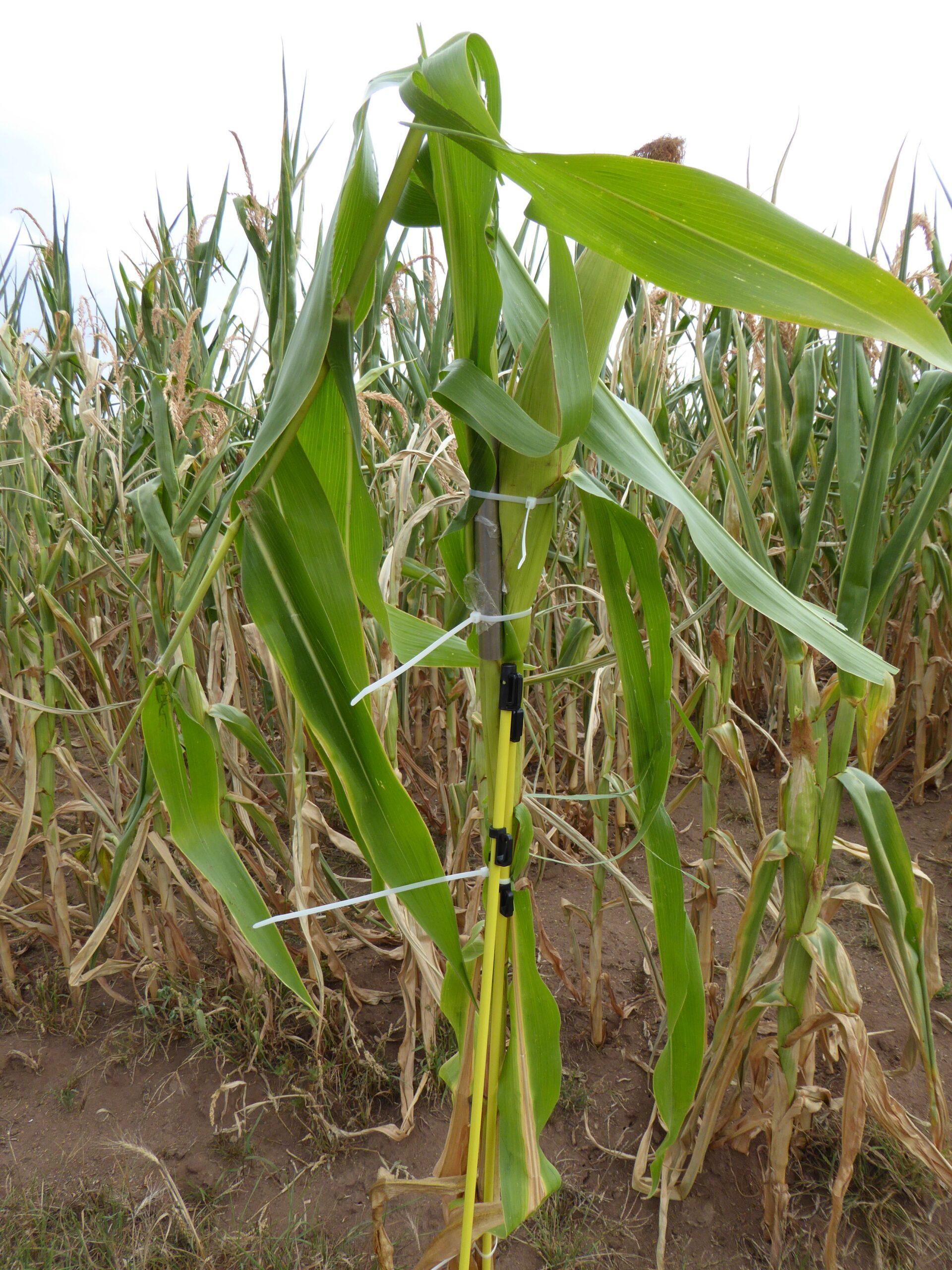 Unser Foto zeigt: Bei einer Studie an der HSWT wurde u.a. ein Fremdkörper (V2A-Stahl) an einer Maispflanze befestigt und mittels einer Kunststoffstange im Maisfeld platziert.