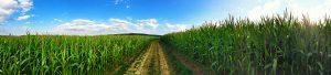 Weg durch Maisfelder