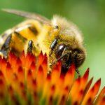 Nahaufnahme einer Biene auf einer Blüte