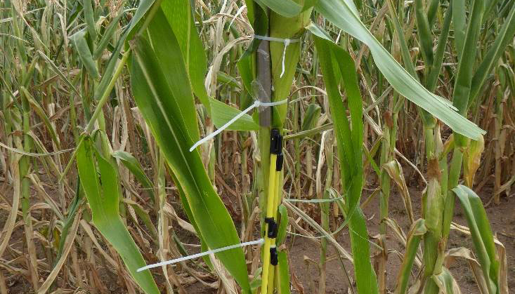 Runder Edelstahlbolzen von ca. 10 cm Länge und ca. 1 cm Durchmesser ist mit Kabelbindern an einer Maispflanze befestigt